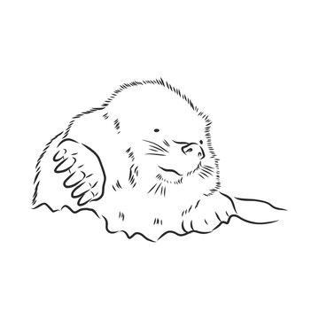 Mole. Sketch. . Vector illustration. mole vector sketch illustration