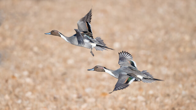 pintail duck flying
