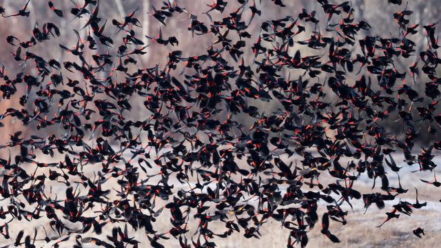 Flock of red-winged blackbirds take flight