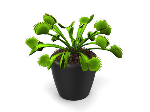 Green venus flytrap plant in a small black pot