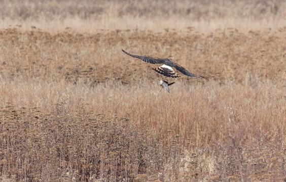northern harrier hawk with its prey