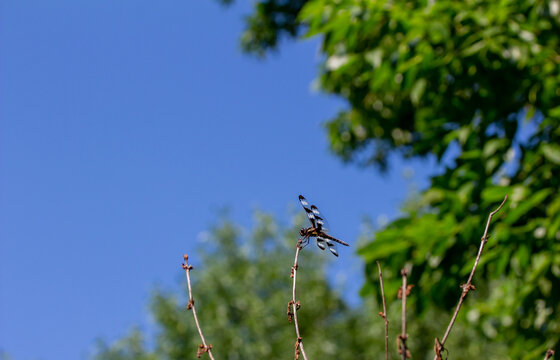 Close up view of a black and white winged dragonfly perched on top of a bare shrub branch with green foliage and blue sky background