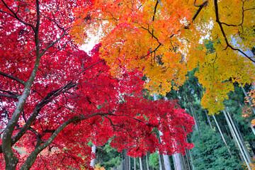 赤や黄色に色づいた紅葉のグラデーション