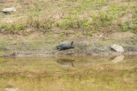 A soft-shell turtle sun bathing near a waterhole with its reflection in the water inside Nagarhole Tiger reserve during a wildlife safari