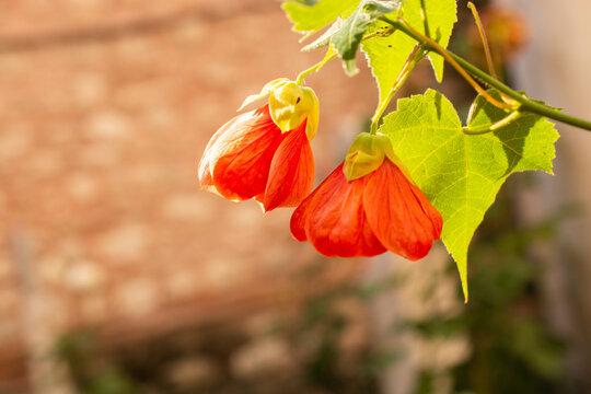 A closeup shot of red abutilon flowers in a garden