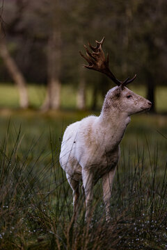 Fallow Deer with white winter fur, Randalstown Forest, County Antrim, Northern Ireland