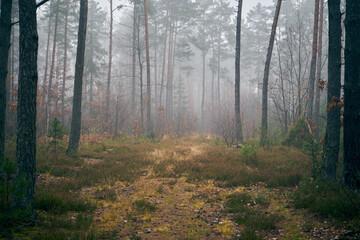 autumn misty pine forest
