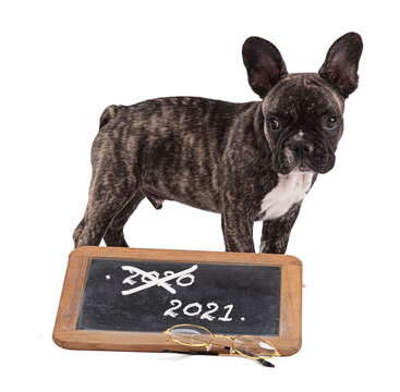 French bulldog puppy with a school blackboard for the transition to 2021