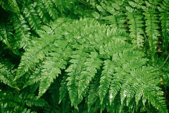 Background of green wet leaves of forest fern. Water falls on the lush green leaves of the forest fern.