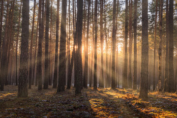 Sunrise in the spring pine forest with last snow. Sunbeams shining through the haze between pine...