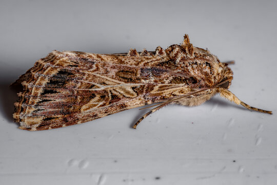 Adult Armyworm Moth