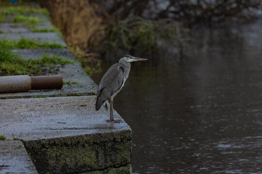 Grey Heron on the Lower River Bann at Toomebridge Eel fishery, County Londonderry, Northern Ireland