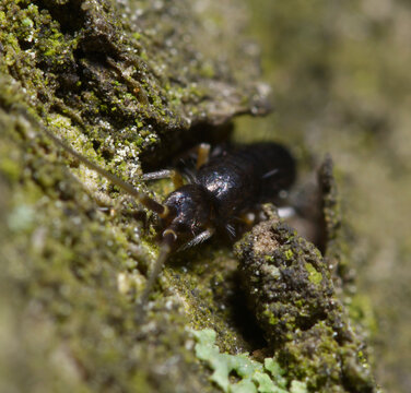 Springtail, сollembola, hiding in a bark of a tree, forest