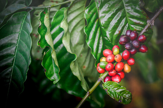 Ripe coffee beans waiting to be harvested on the coffee plant.