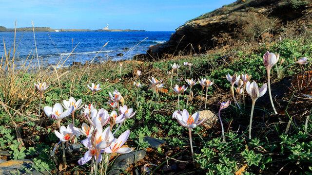 Flores de azafran en el Cami de Cavalls Menorca