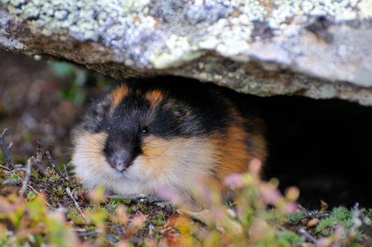 Berglemming in Herbst in der Tundra in Schweden