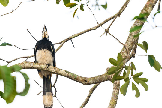 Oriental pied hornbill bird stair  on the branch tree in nature at Thailand, Anthracoceros albirostris