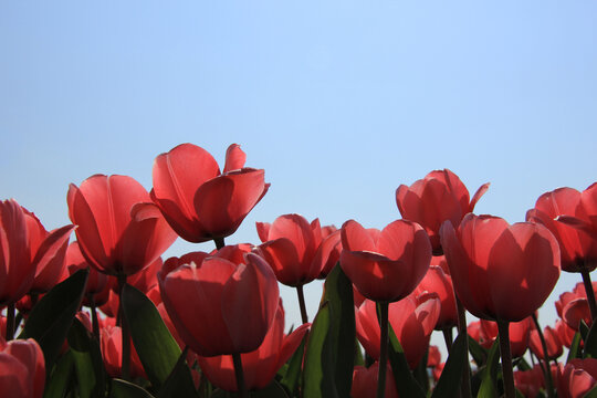 Pink tulips in backlight