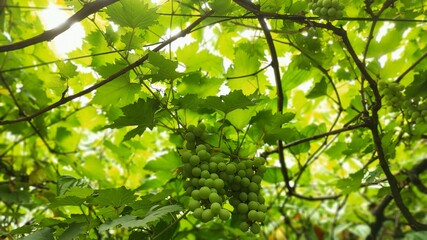 green grapes that only develop after rain