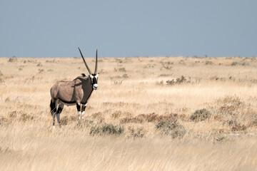 Eine Oryx- Antilope im Etosha Park