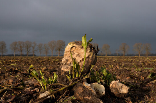 Sugarbeets left on a field after harvest, gnawed by mice or rabbits, under a dark sky