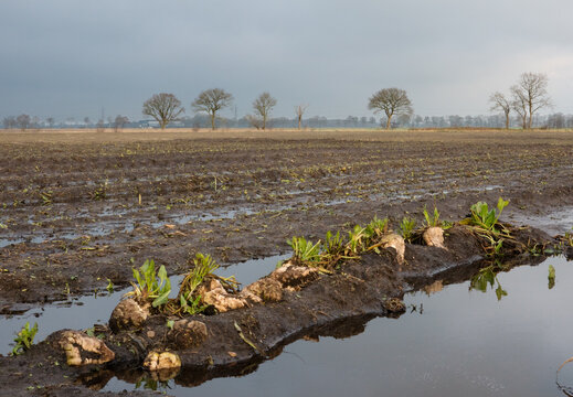 Sugarbeets left during harvest on a muddy field because of bad weather, puddles all around
