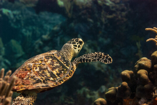 Side view of a Green turle cruising in the waters of Little Cayman