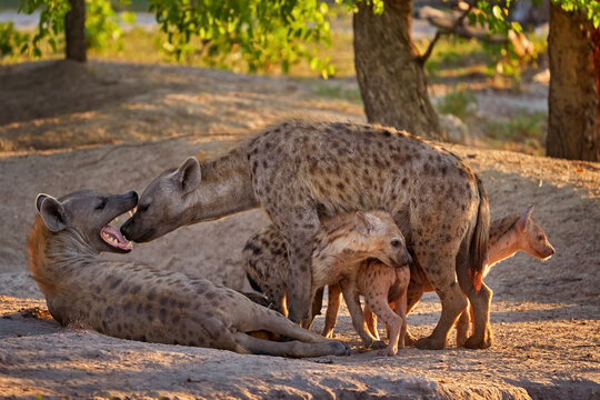 Family in the nature.  Hyena evening sunset light. Hyena, detail portrait. Spotted hyena, Crocuta crocuta, angry animal near the water hole, beautiful evening sunset and cub. Animal pup nature.
