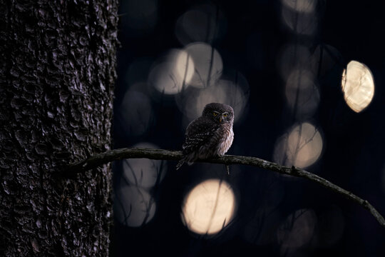 Pygmy Owl, sitting on tree spruce branch with clear dark forest background. Eurasian tinny bird in the habitat. Beautiful bird in evening sunset. Wildlife scene from wild nature, owl in Czech Rep.