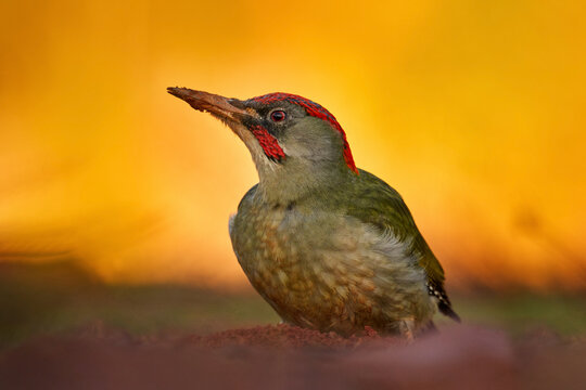 Iberian green woodpecker, Picus sharpei, medium-sized woodpecker endemic to the Iberian peninsula, Spain in Europe. Woodpecker in the green grass, evening orange sunset. Green bird with red cap.
