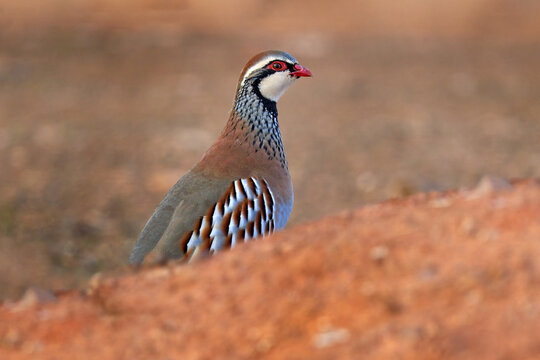 Red-legged partridge, Alectoris rufa, gamebird in pheasant family Phasianidae, on the gravel road, Spain in Europe. Partridge in the nature habitat. Birdwatching in Spain. Detail close-up portrait.