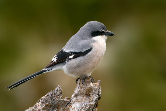 Iberian grey shrike, Lanius meridionalis, in the nature habitat, Sierra de Andújar, Andalusia, Spain in Europe. Black and gry bird sitting on the branch.