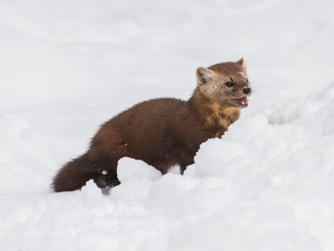 Pine marten hiding behind snow bank looking ahead with mouth open