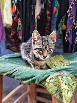 Chat tigré d'Essaouira