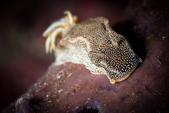 Starry night nudibranch - Hypselodoris lapislazuli