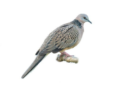 Spotted dove perching on a perch