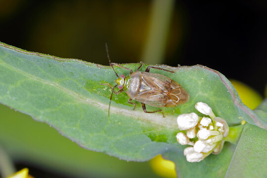 Lygus Bug form the family Miridae on oilseed rape (canola) plants