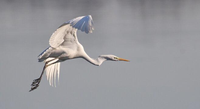 Great white egret in fly, Ardea alba