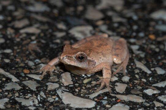 Spring peeper frog macro portrait on wet road at night