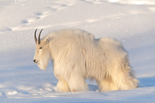 A fluffy mountain goat seen in natural daylight lighting with horns, pure white coat, fur. Snowy, snow covered background  and landscape in northern Canada.