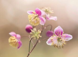 Obraz Rutewka Delavaya - różowe kwiaty - fototapety do salonu