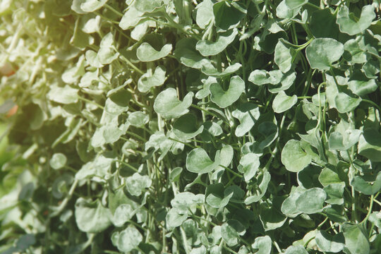 Dichondra argentea 'Silver Falls' Plant Natural Pattern Background
