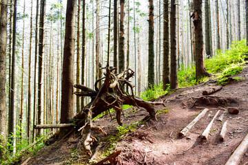 Fototapeta Korzeń w lesie w Zakopanym  obraz