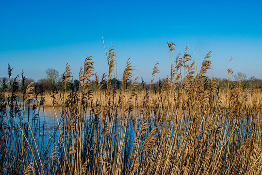 January 2021, in the marshes not far from Challans, the common reeds took on their winter colors, on a superb day, Vendée, France.