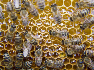 Wall Mural - Busy Bees, Close Up View Of The Working Bees On Honeycomb.