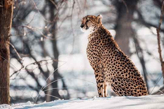 Beautiful cheetah atop a snowy hill looking out onto the horizon