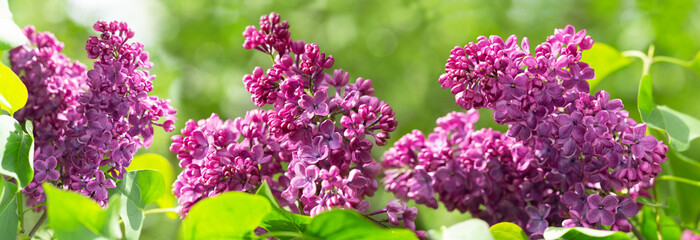 Purple lilac flowers in a garden. Spring background