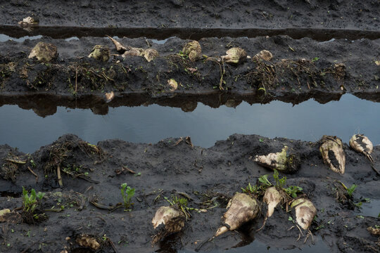 Lost crop: sugarbeets left during harvest on a muddy field because of bad weather, puddles all around