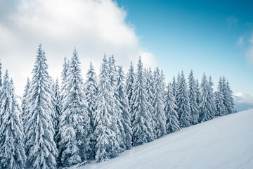 Wall Mural - Incredible winter landscape with snowy spruces on a frosty day.