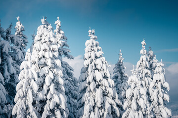 Wall Mural - White winter spruces in snow on a frosty day. Christmas holiday concept.